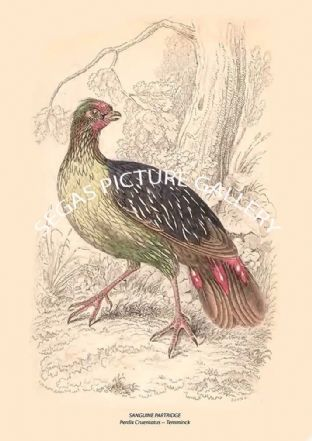 SANGUINE PARTRIDGE = Perdix Cruentatus -- Temminck
